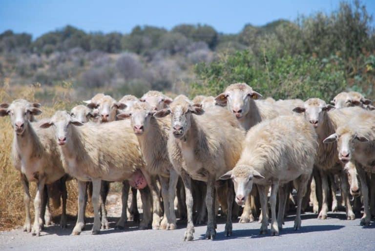 Un gregge di pecore in strada in Sardegna
