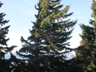 town – trees, Dec.2015