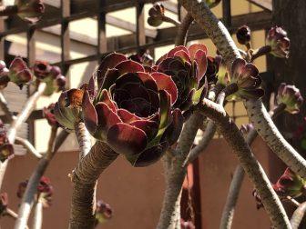 イタリア サルディニア島 アルゲーロ 植物