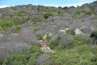 Italy-Sardinia-Asinara-plant-without leaves-poison