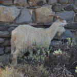 Italy-Sardinia-Asinara-goat
