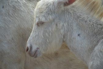 Italy-Sardinia-Asinara-white donkey