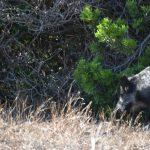 Italy-Sardinia-Asinara-boar