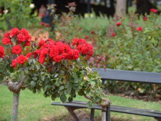 Palermo – rose garden, Jan.2016