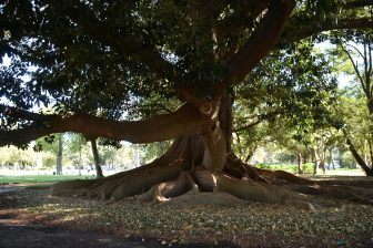 albero-grandissimo-argentina-capitale