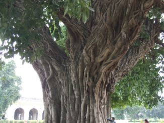 India, Delhi – tree, Sept. 2006