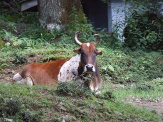 India, Dharamsala – cow, Sept.2006