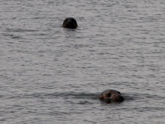 Las focas fueron los personajes principales