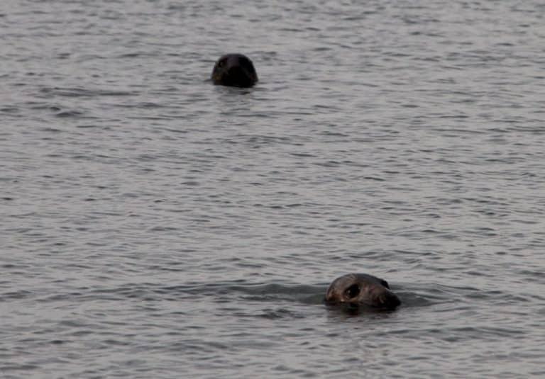 I protagonisti erano le foche Walney Island in Inghilterra
