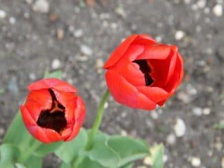Romania, Horezu – tulips, Apr.2014