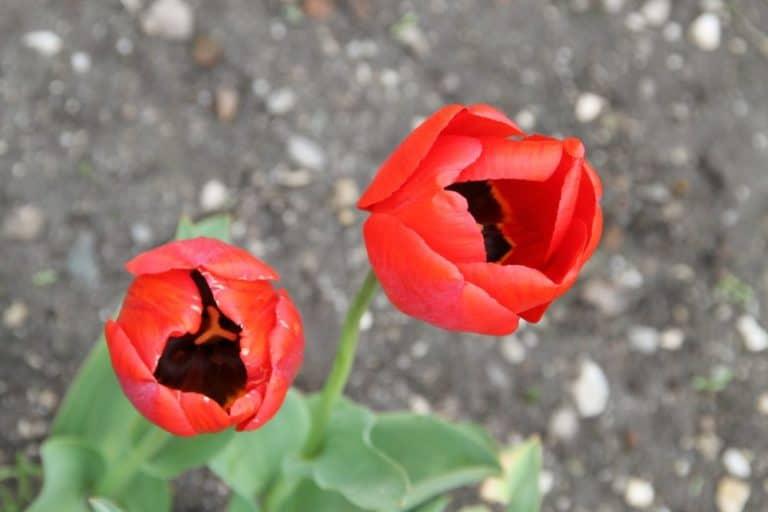 Romania, Horezu – tulips, Apr.2014 (Valcea)