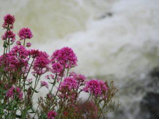 Ireland, Galway – flowers, 2011