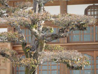 Japan, Karatsu – tree, Jan.2014