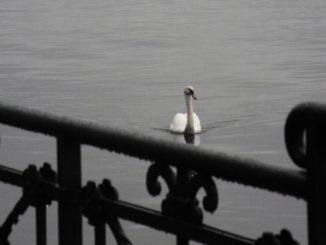 Switzerland, Lugano – swan, Oct.2014