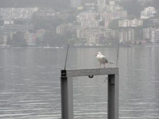 Switzerland, Lugano – seagull, Oct.2014