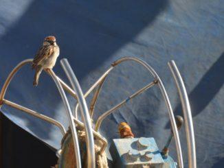 Malta, Marsaxlokk – sparrow, Feb. 2013