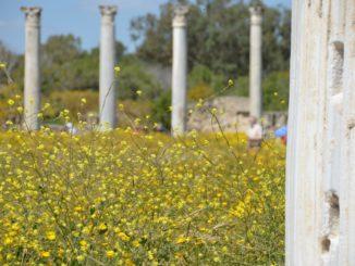 Salamis – columns and flowers, Apr.2015