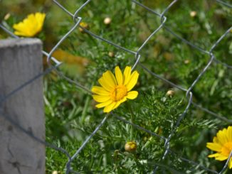 Paphos – fence with flowers, Mar.2015