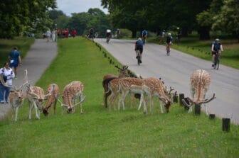 a flock of deer near the entrance in Richmond Park