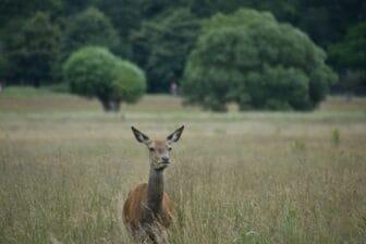 a lost deer in Richmond Park