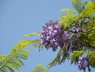 San Cristobal Hill – blossoms, Dec.2015