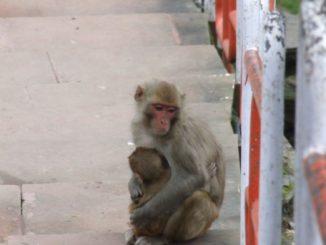 India, Shimla – monkeys, Sept.2006
