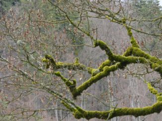 Romania, Sinaia – green branches, Apr. 2014