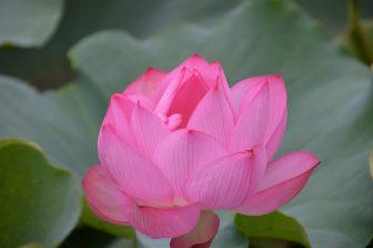 Tokyo – Ueno, lotus flower, Aug.2016