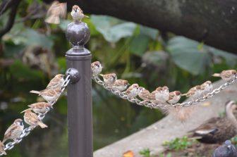 Tokyo – Ueno, sparrows, Aug.2016