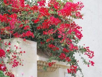 Tunisia, Carthage – red flowers, Dec. 2008