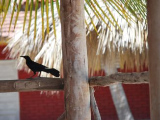 Cuba, Playa Ancon – black bird and tree, spring 2010