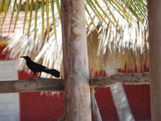 Cuba, Playa Ancon – black bird and tree, spring 2010