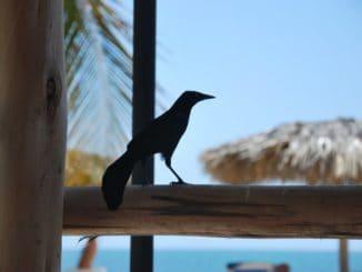 Cuba, Playa Ancon – black bird, spring 2010