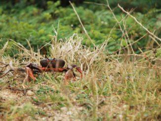 Cuba – another crab, spring 2010