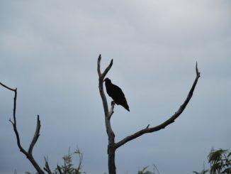 Cuba – vulture, spring 2010