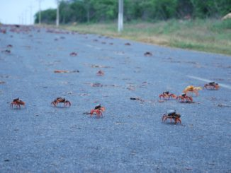 Cuba – a lot of crabs, spring 2010
