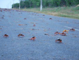Cuba – a lot of crabs, spring 2010