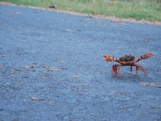 Cuba – crab on the road, spring 2010
