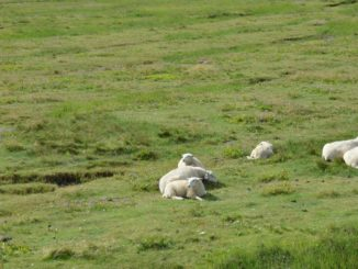 Denmark, Mando – sheep, July 2012