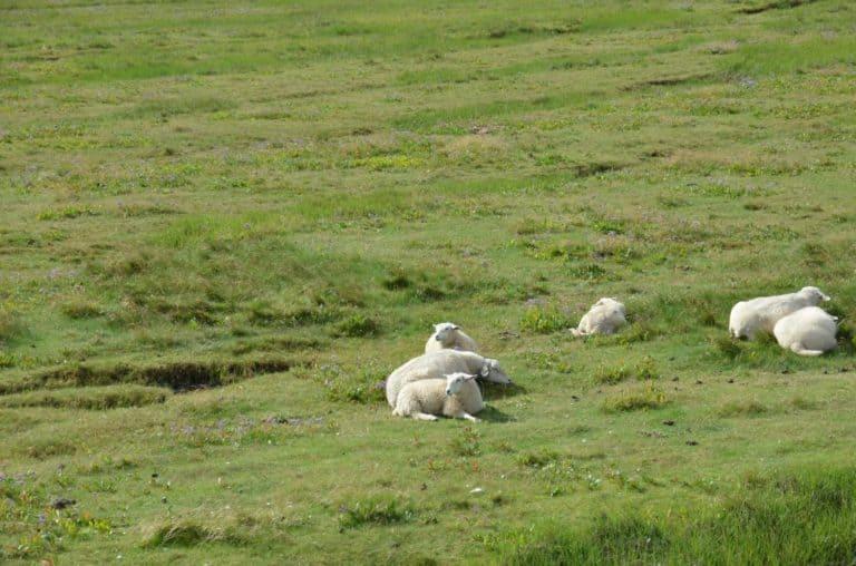 Denmark, Mando – sheep, July 2012