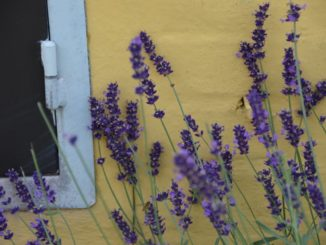 Denmark, Odense – yellow and purple, August 2012