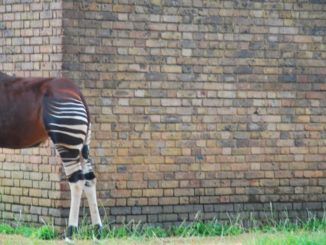 England, London Zoo – What are you looking at? 2011