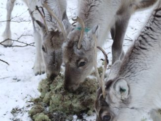 Reindeer, pivot of life