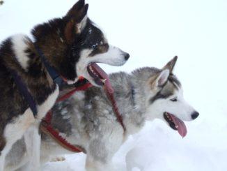フィンランド、イヴァロ-犬 2006年