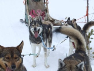 My experience of riding dog sledge