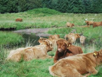 Scotland – Highland Cow resting 2010