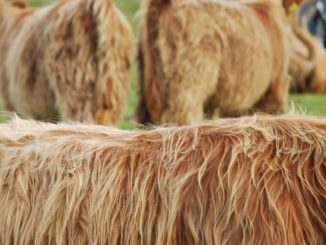 Scotland – Highland Cow's detail 2010