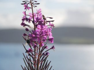 Scotland, Oban – flower, 2010