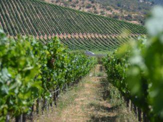 Casablanca Valley – vineyard, Dec.2015