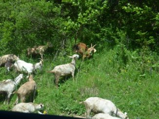 flock of goats, May2016